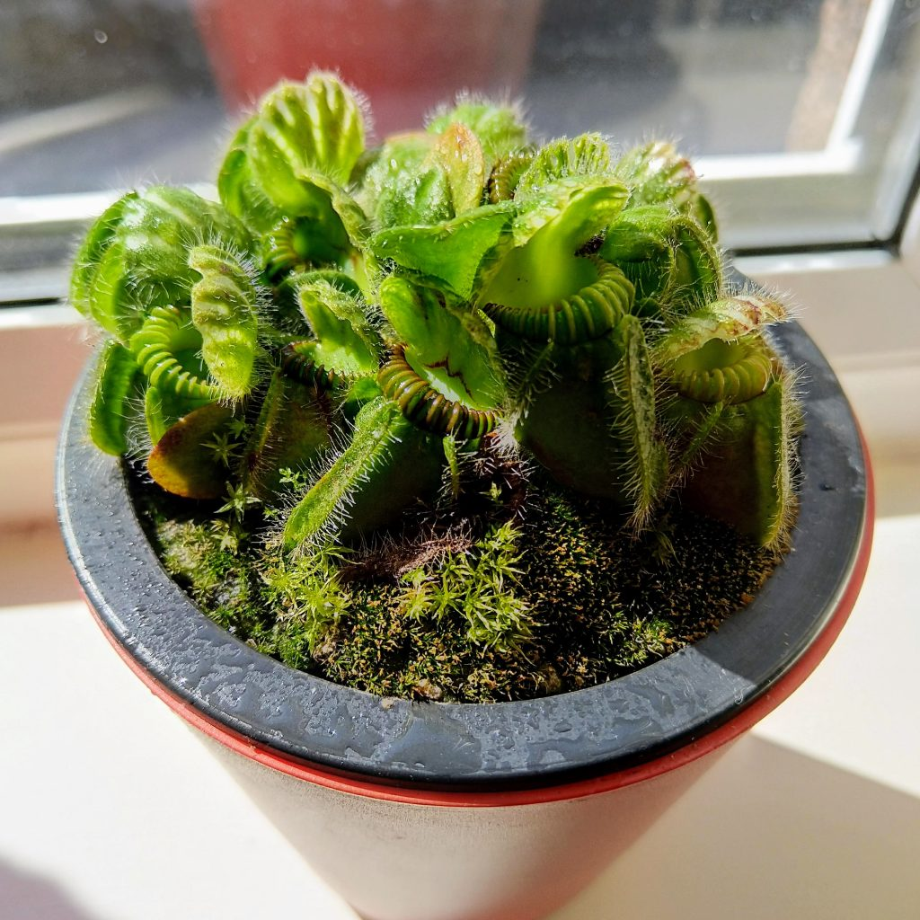 Cephalotus on Windowsill