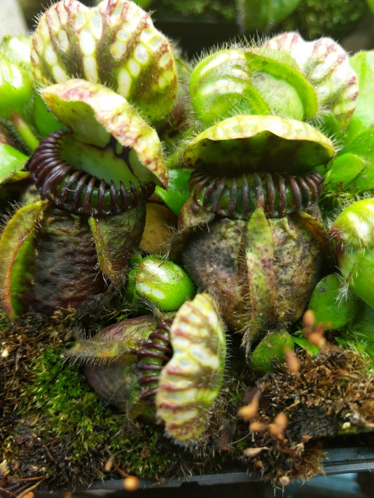 Cephalotus with Fungus