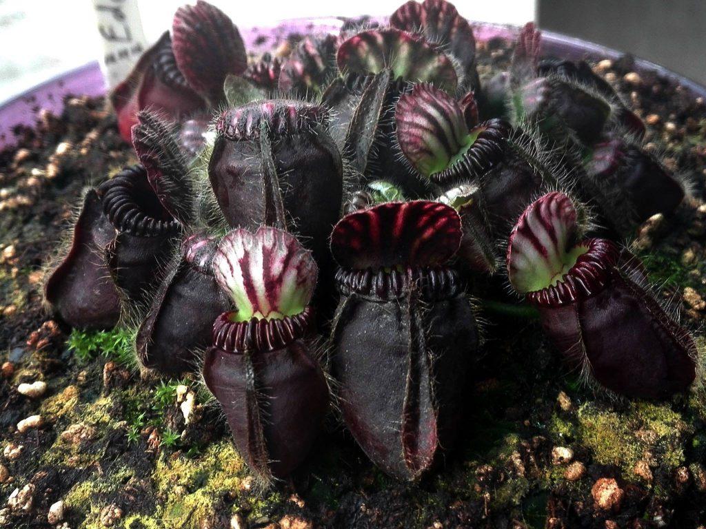 Cephalotus 'Eden Black'
