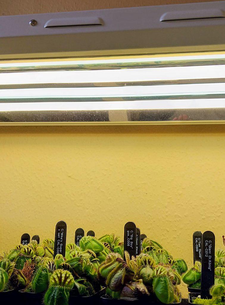 Cephalotus Under Flourescent Lighting
